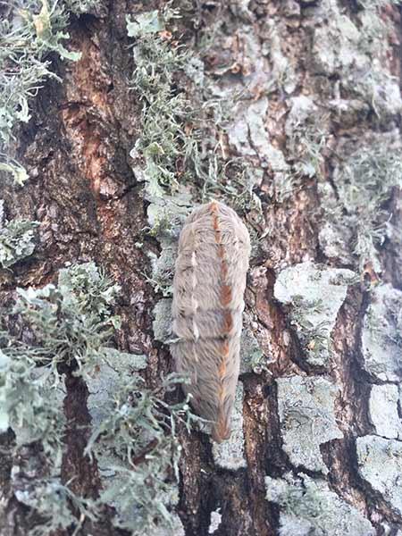 oak puss moth
